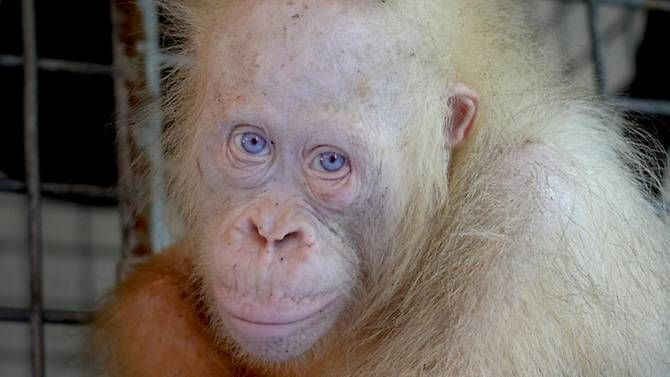 Saved Alba: freedom with the risk of lifeThe albino orangutan returns to the wild