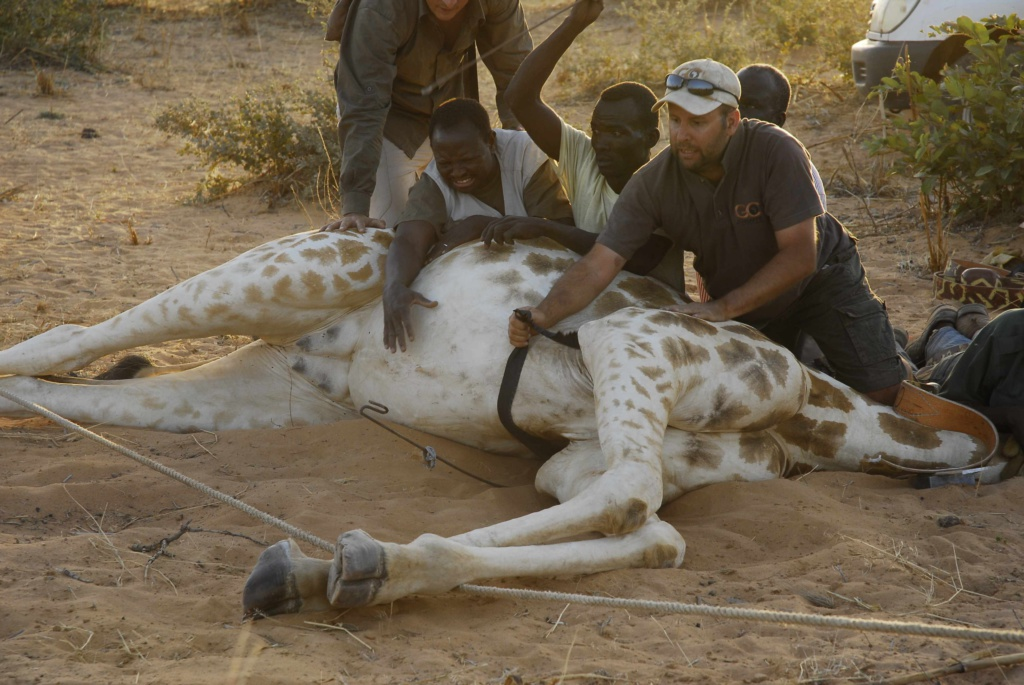 <h1>Rescue of a rare giraffe species in Africa</h1><h2>Eight West African giraffes have been transferred to the Gadabedja protected area in Niger</h2>